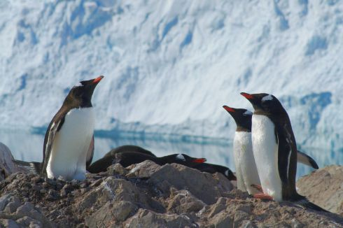 Gentoo penguins on a hot day at Neko Harbour, December 2013.