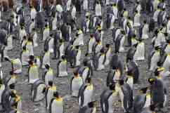 King penguins at Salisbury plain, South Georgia, December 2014.