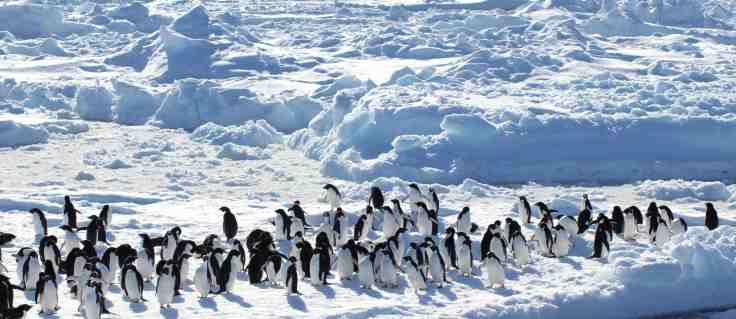 Adelie penguins hanging out in the pack ice of the Weddell Sea, just off the Danger Islands. December 2015.