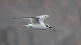 An Arctic tern I spotted spending the summer down in Antarctica, Deception Island, November 2016.