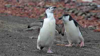 Chinstrap penguins looking goofy on Deception Island, November 2016.